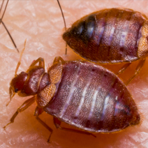 Bed Bug Treatment and Control